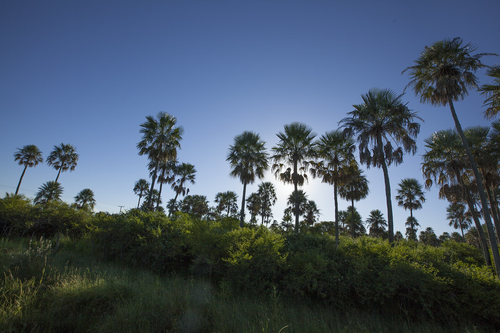 Palm trees in the Chaco