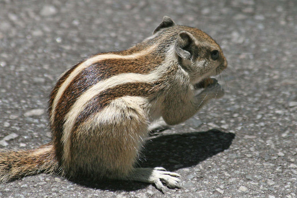 Five Striped Palm Squirrel Also Known As Indian Palm