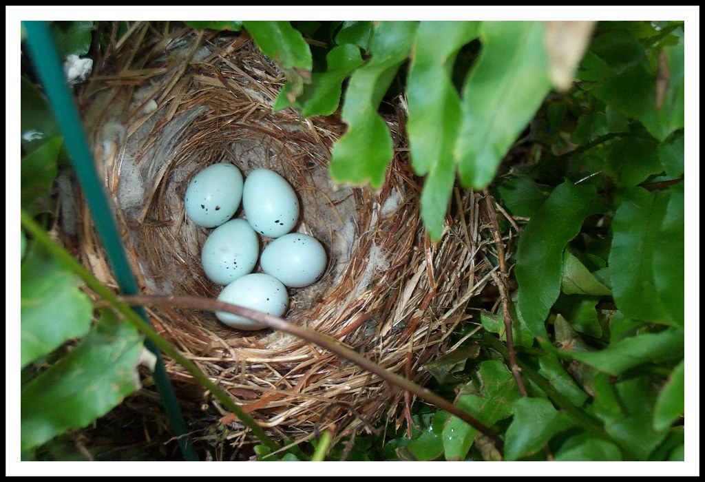 House Finch Nest And Eggs A House Finch Built Her Nest