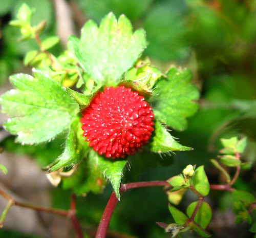 Berry These Kind Of Look Like Little Wild Strawberries