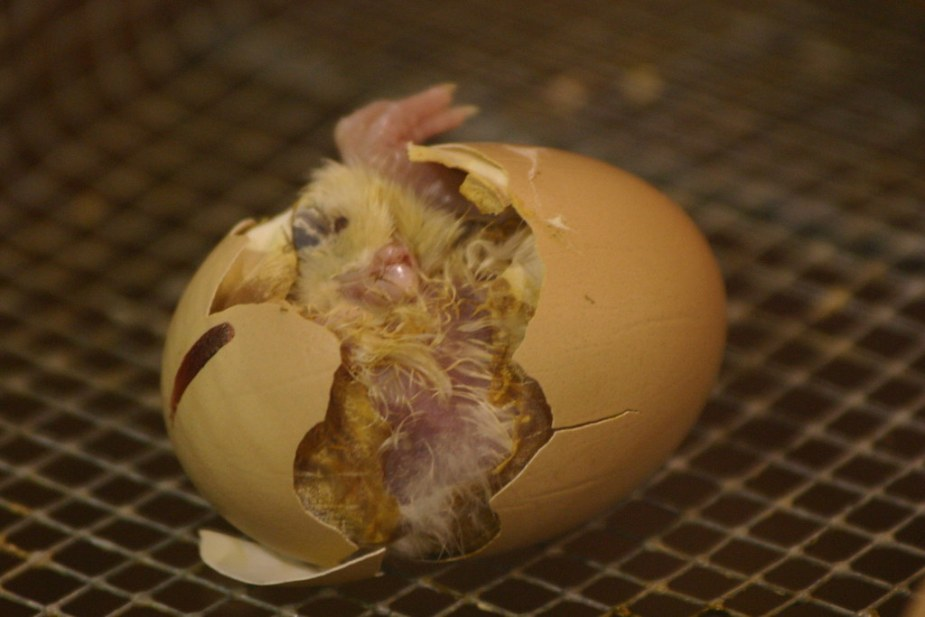 Image result for chicken incubator