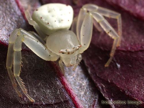 White Crab Spider A White Crab Spider Thomisus Stoliczka