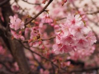 桜が咲いたよ…