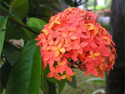Ixora red  flowers throughout the year   Common name  Ixora       Flickr     flowers throughout the year   by Nagcharan