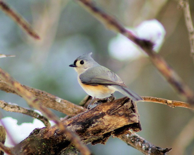 Tufted Titmouse, West central Arkansas,  March 7, 2008