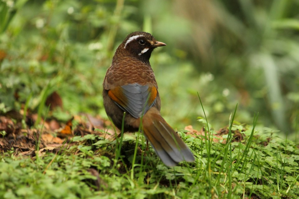 Formosan Laughingthrush (White-whiskered Laughingthrush)