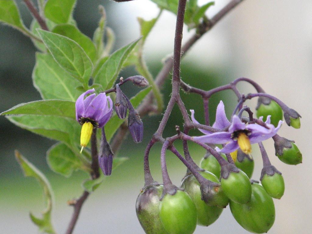 Ontario Weed Purple Flower