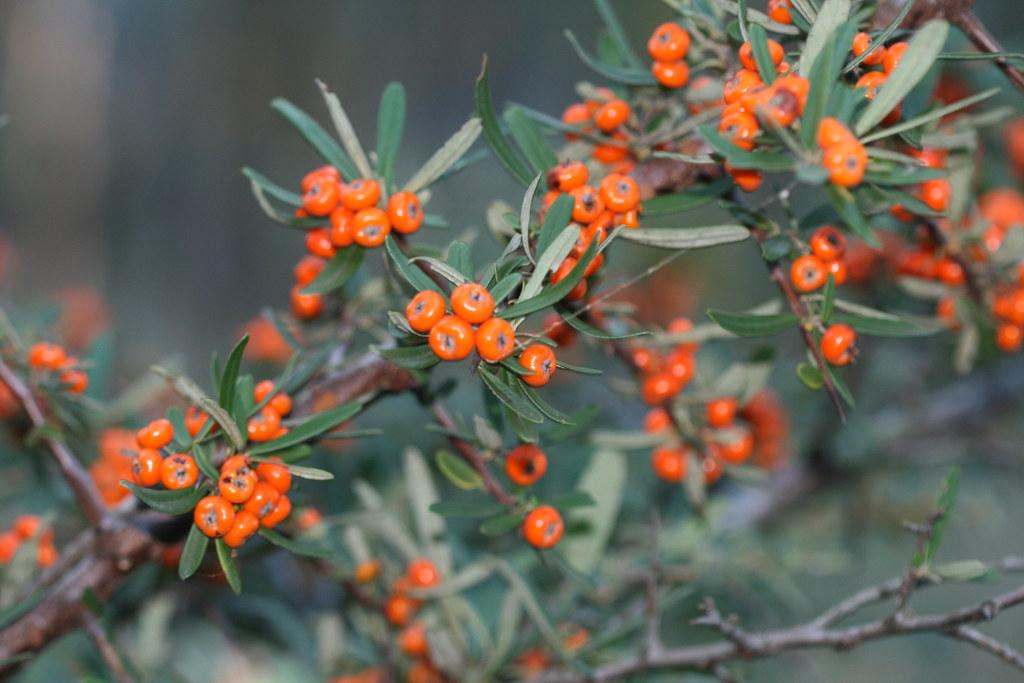 Pyracantha Angustifolia Firethorn Weed Firethorn