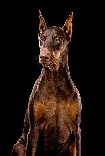 Ginger Red Doberman Dog If You Use This Image Please