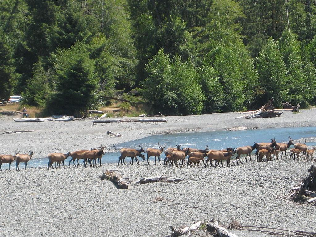 Elk Herd Crossing River