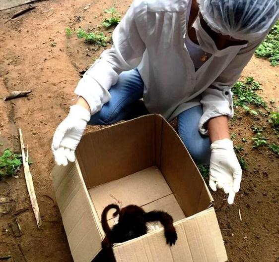 Exame confirma morte de macaco por febre amarela em Rurópolis, Macacos mortos - febre amarela - Rurópolis