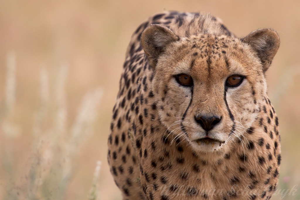 Cheetah Male Cheetah Male In Kgalagadi South Africa