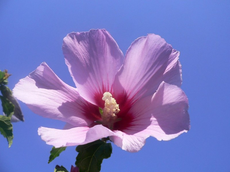 The national flower of South Korea  Hibiscus syriacus    Flickr     The national flower of South Korea  Hibiscus syriacus    by Luigi Strano
