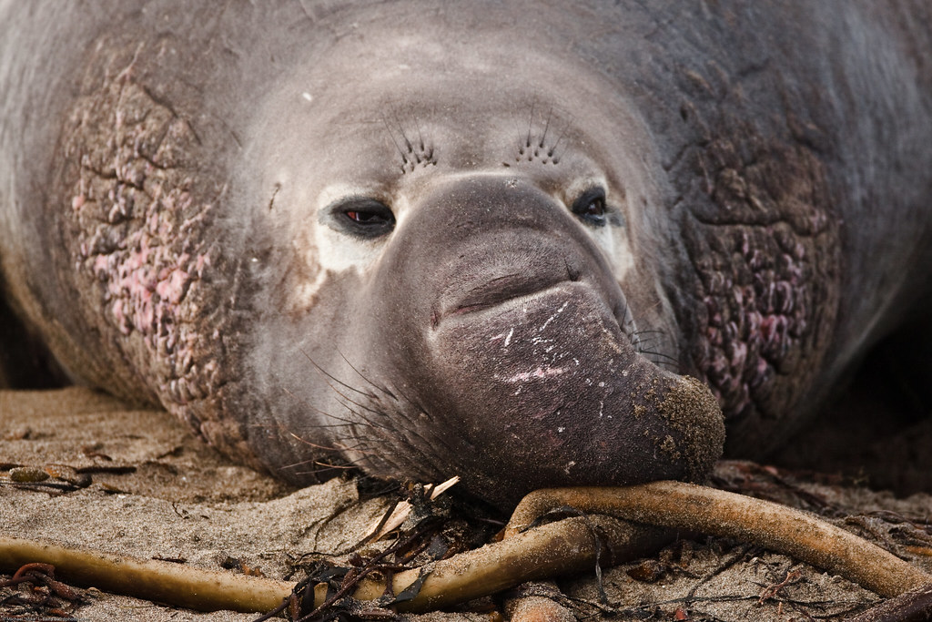 2 Of 3 Male Northern Elephant Seal M Angustirostris At