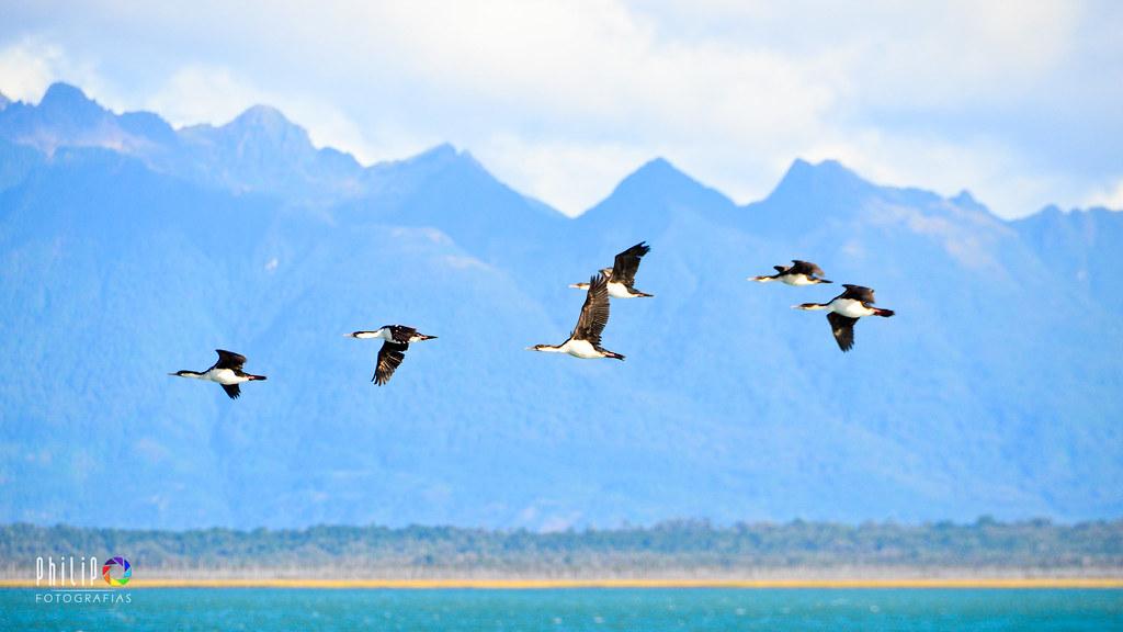 Aves Volando Sur De Chile Philip Oyarzo Calisto Flickr