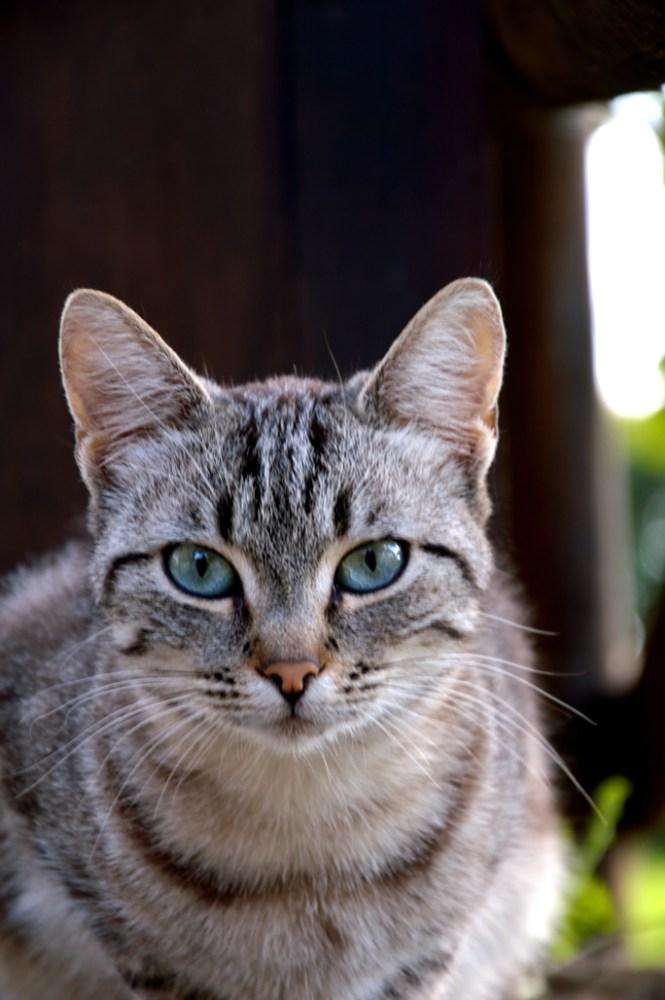 gatto DSC_2209 tandoori