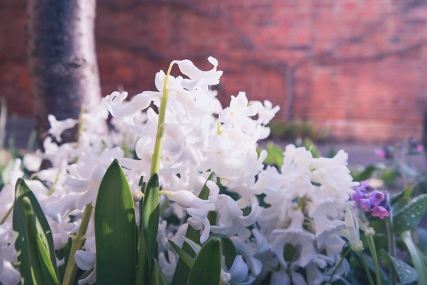hyacinths_garden