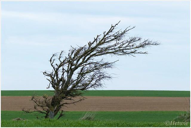 Onderweg zien we bomen gevormd door de wind.