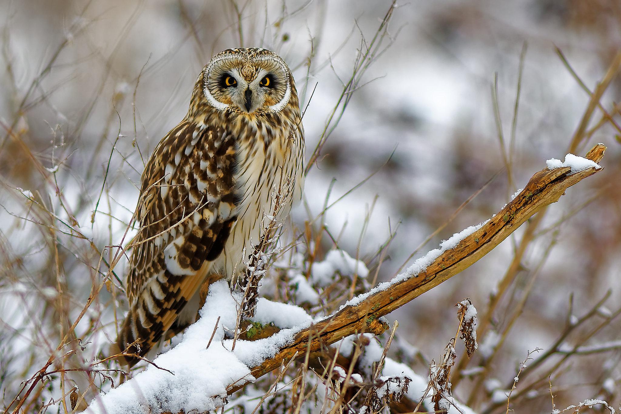 Short-eared owl in snow