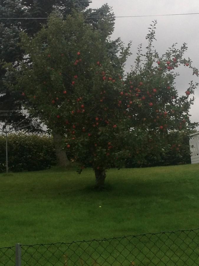 apple tree in house yard in bo town telemark norway