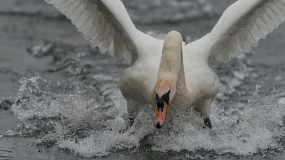 Mute Swan.