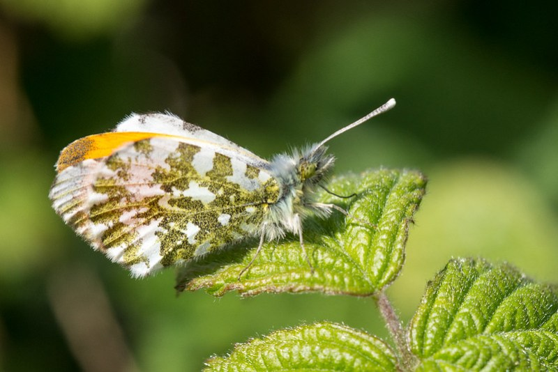 Orange-tip - Kenworthy Wood, Northern Moor (opposite Chorlton Water Park)