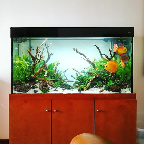 Layout finished. Discus tank with mainly Echinodorus, mangal wood and lava stones at private customer in Portugal. Aquarium size: 120x50x60h cm #FAAO #Aquaflora #Aqvainnova #Aquascaping #planted #aquarium #aquatic #plant #freshwater #plantedtank #aquasc