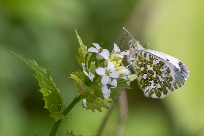 Orange-tip (female)