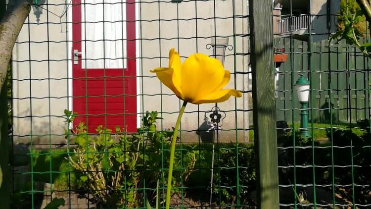 Tulipán amarillo en vídeo