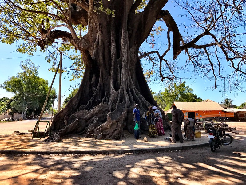 giant tree in diembering village in casamance