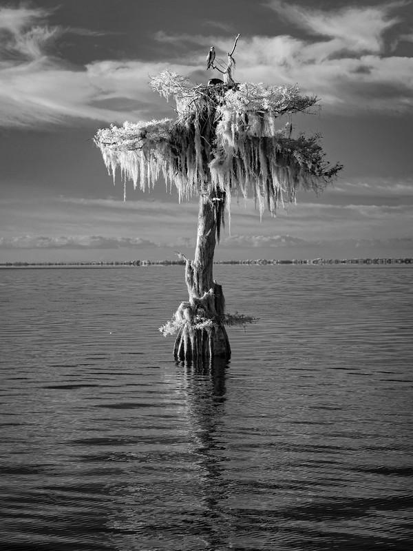 Lone cypress and Osprey