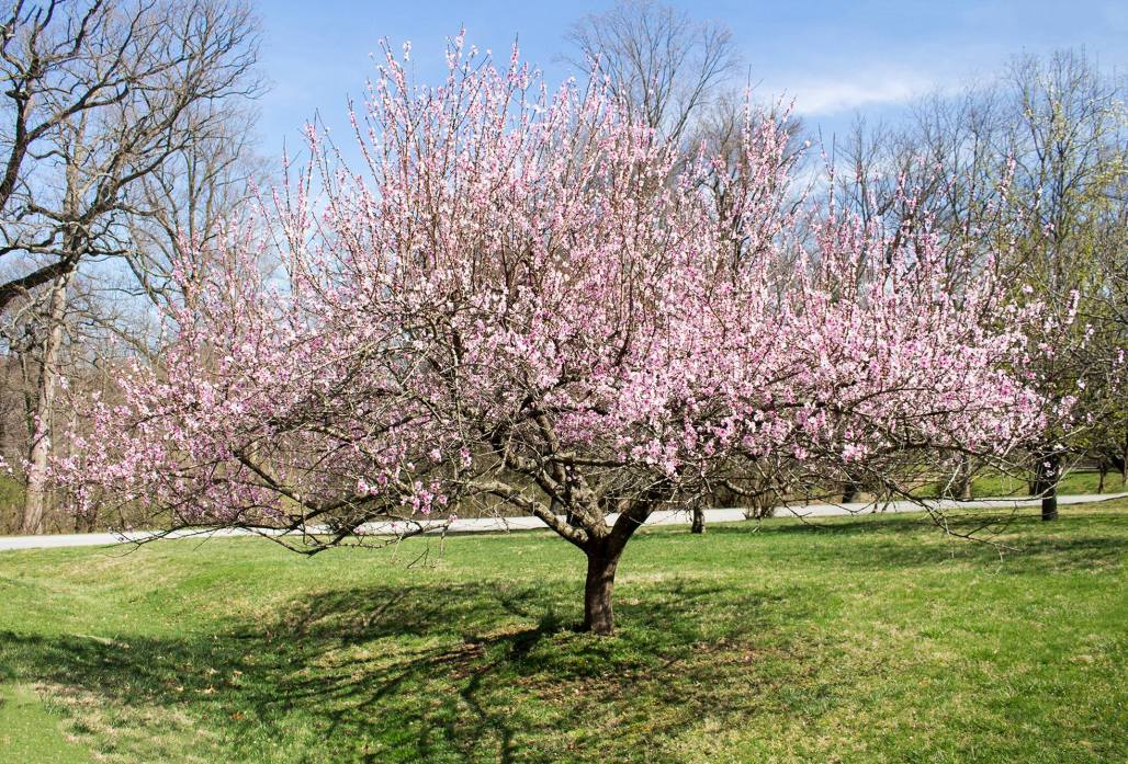 A peach tree in bloom with pink flowers.