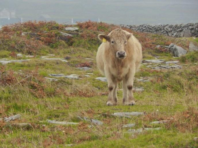 Aran Cow