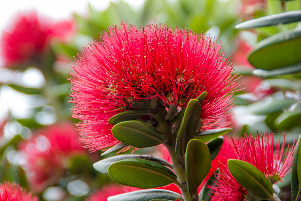 The Pohutukawa Flower Because I Cant Drive For A While