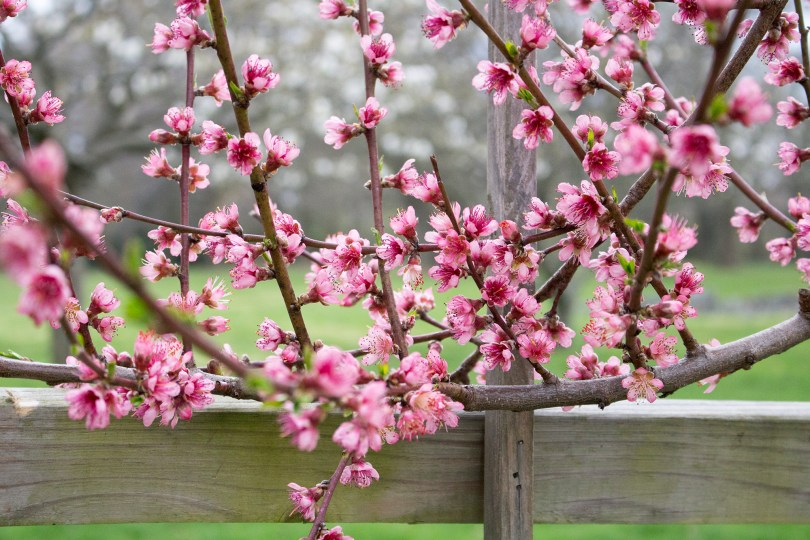 A peach tree's pink blossoms