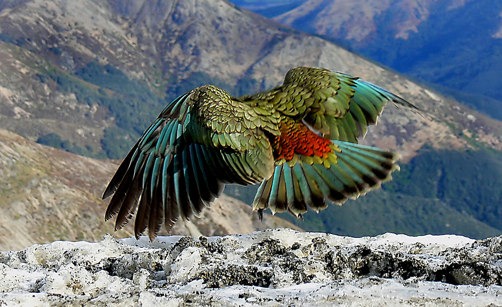 The Kea New Zealand The Kea Is The Only Alpine Parrot