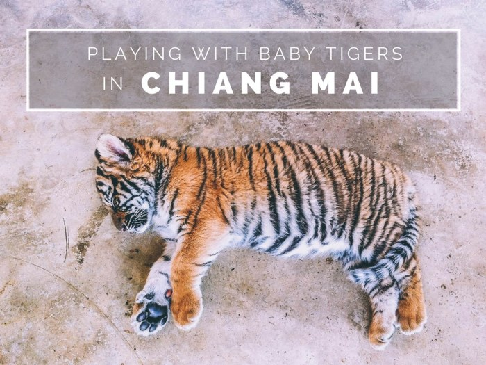 Playing With Baby Tigers In Chiang Mai