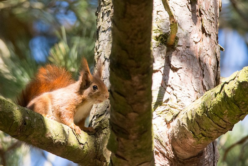 Red Squirrel in the pine woods at Formby, Lancashire.