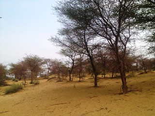 trees in thar desert