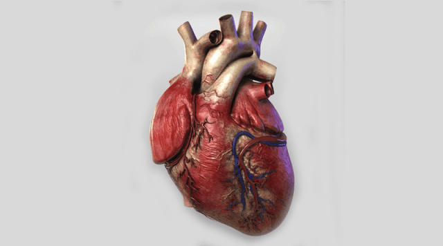 Structure-and-Function-of-Human-Heart-2