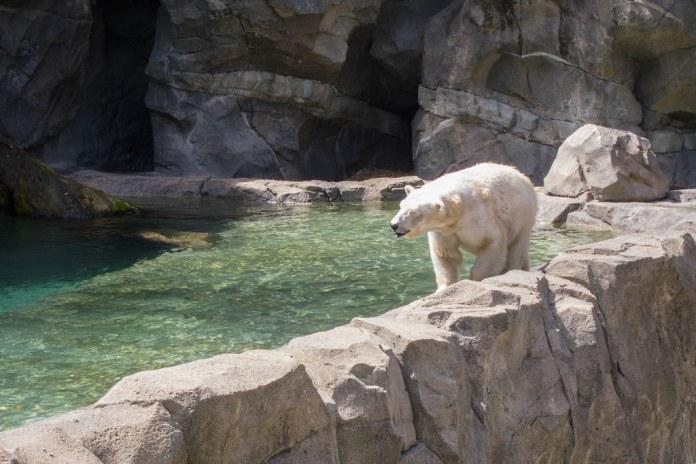 Pacing polar bear