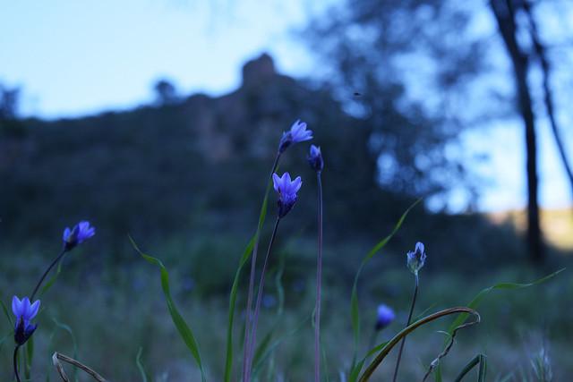 Wild flowers at Pinnacles National Park