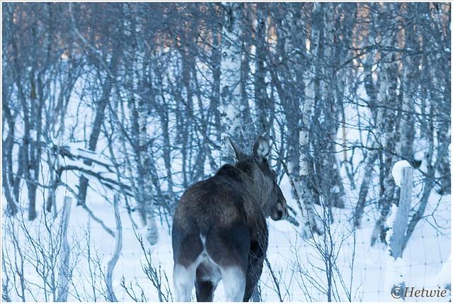 Toch nog een eland gezien.