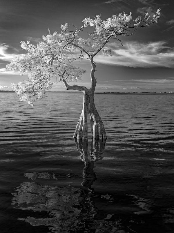 Lone cypress at dawn