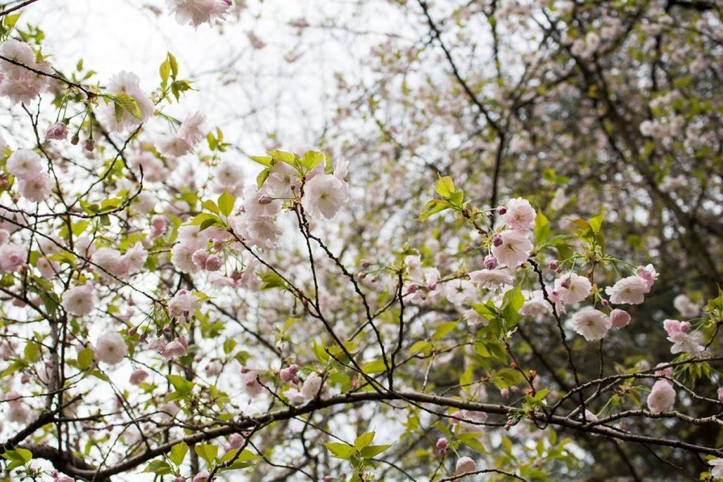 Soft pink cherry blossoms and green leaves on a tree