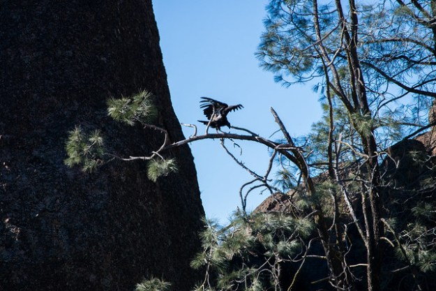 California Condor Landing on a Tree