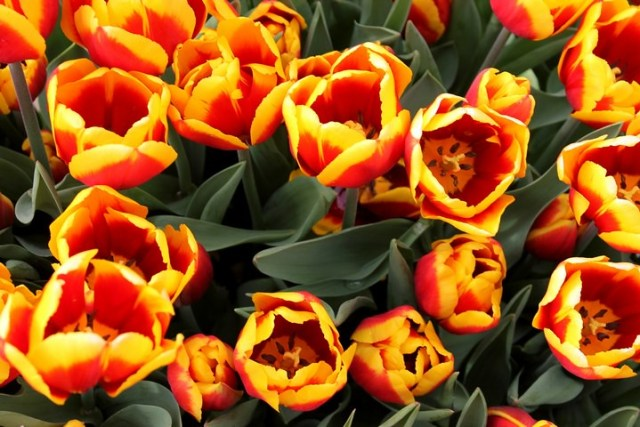 tulipanes holandeses
