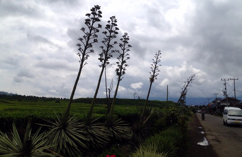 Agave plants along the main road of Kersik Tua