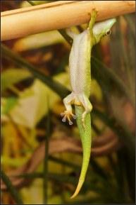 Bildresultat för gecko hanging