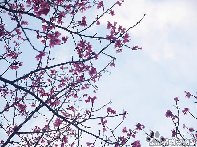 汀甫圳櫻花